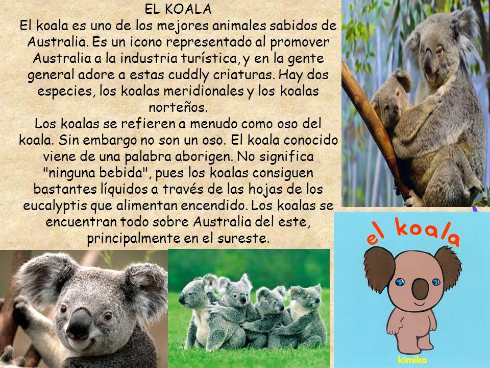 EL KOALA El koala es uno de los mejores animales sabidos de Australia