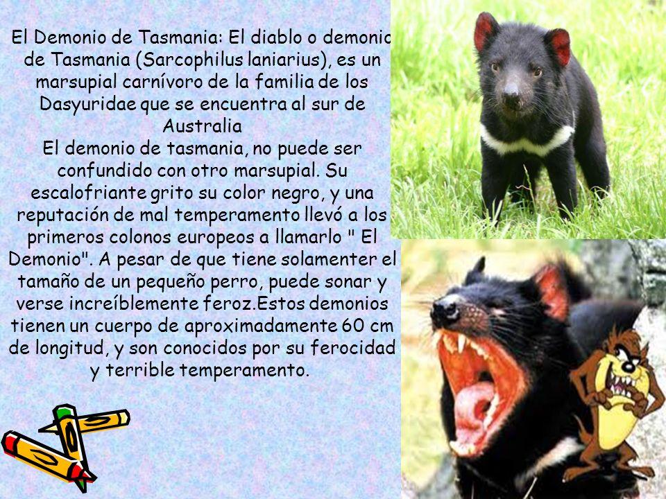 El Demonio de Tasmania: El diablo o demonio de Tasmania (Sarcophilus laniarius), es un marsupial carnívoro de la familia de los Dasyuridae que se encuentra al sur de Australia El demonio de tasmania, no puede ser confundido con otro marsupial.