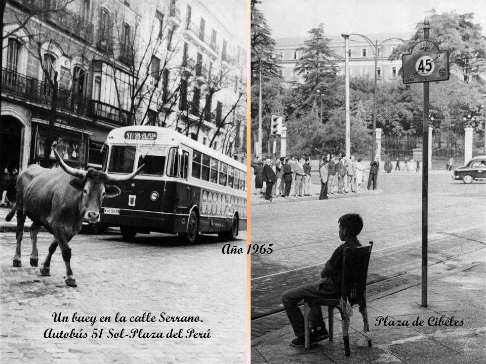 Un buey en la calle Serrano. Autobús 51 Sol-Plaza del Perú