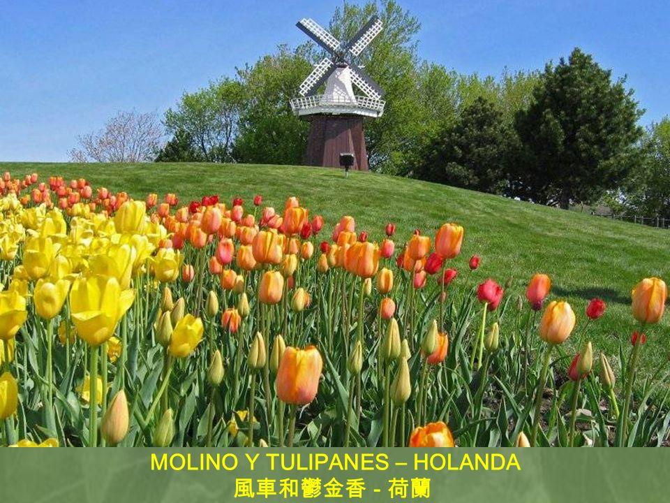 MOLINO Y TULIPANES – HOLANDA