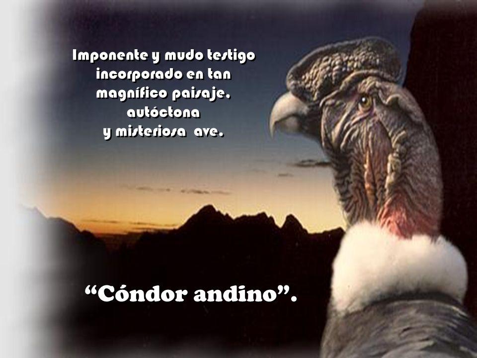 Cóndor andino . Imponente y mudo testigo