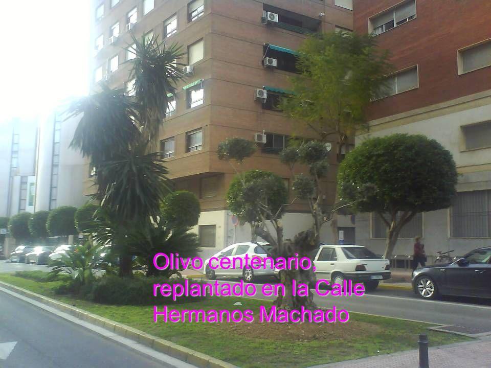 Olivo centenario, replantado en la Calle Hermanos Machado