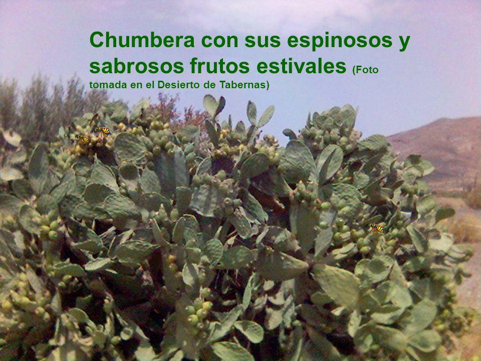 Chumbera con sus espinosos y sabrosos frutos estivales (Foto tomada en el Desierto de Tabernas)