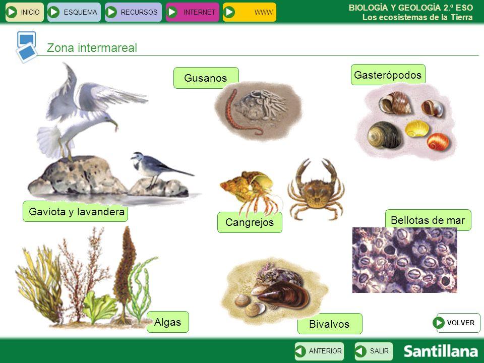 Zona intermareal Gasterópodos Gusanos Gaviota y lavandera
