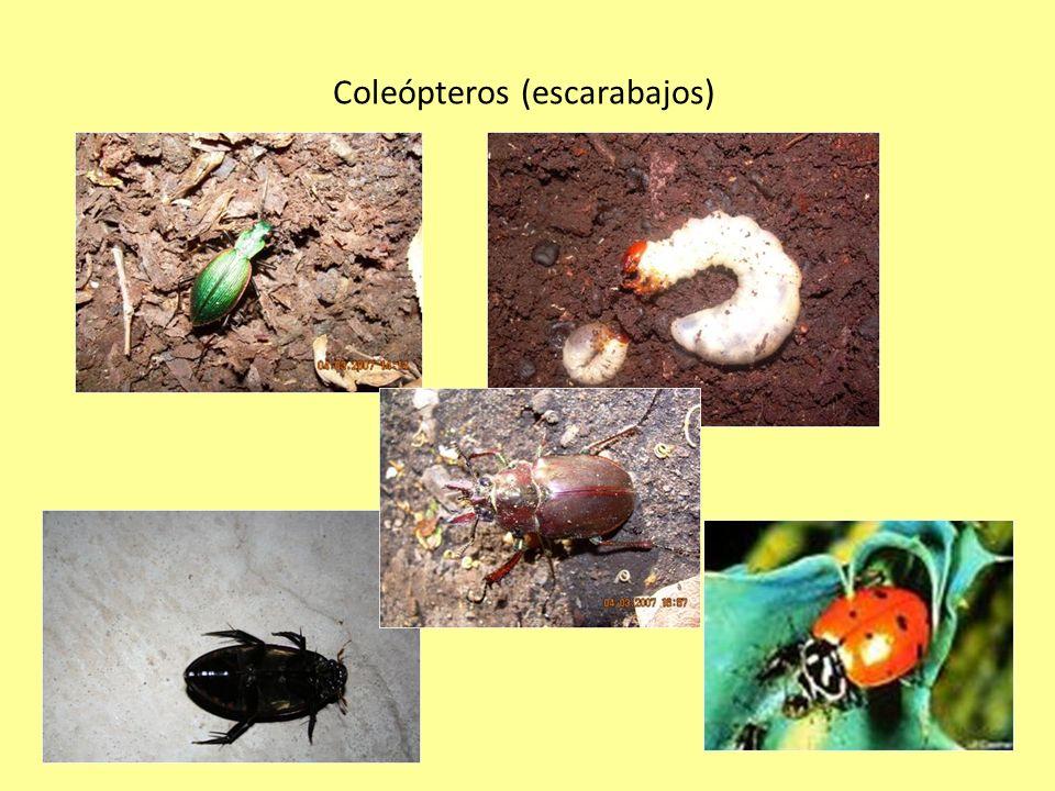 Coleópteros (escarabajos)