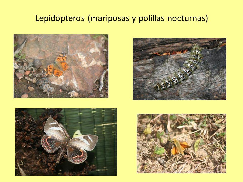 Lepidópteros (mariposas y polillas nocturnas)