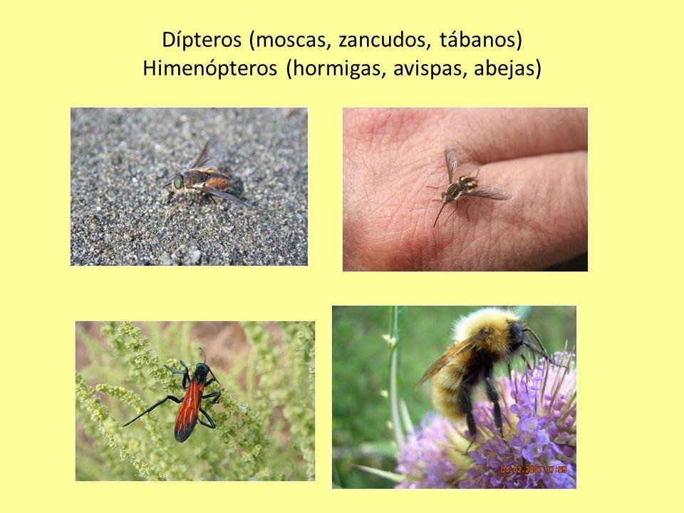 Dípteros (moscas, zancudos, tábanos) Himenópteros (hormigas, avispas, abejas)