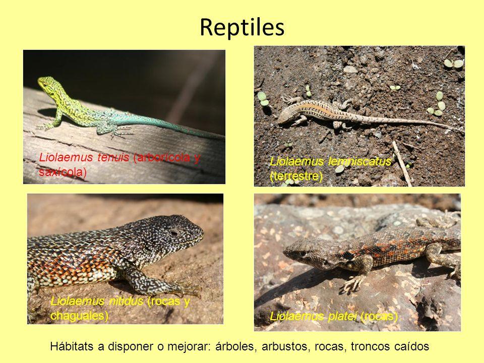 Reptiles Liolaemus tenuis (arborícola y saxícola)