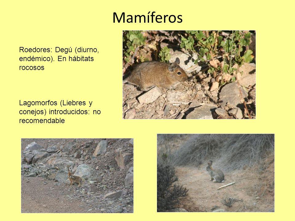 Mamíferos Roedores: Degú (diurno, endémico). En hábitats rocosos