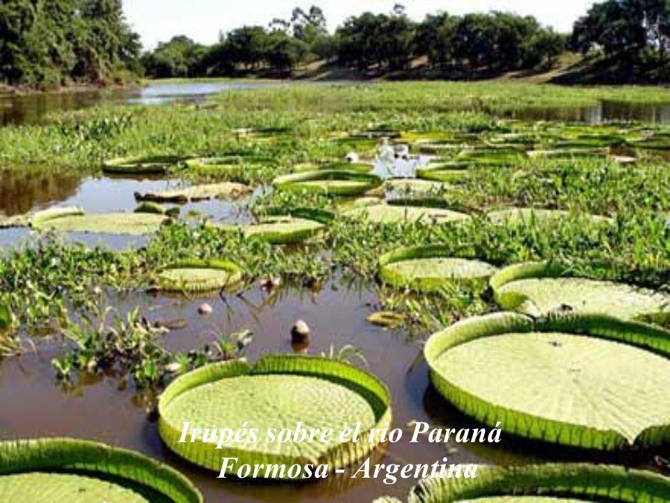 Irupés sobre el rio Paraná Formosa - Argentina