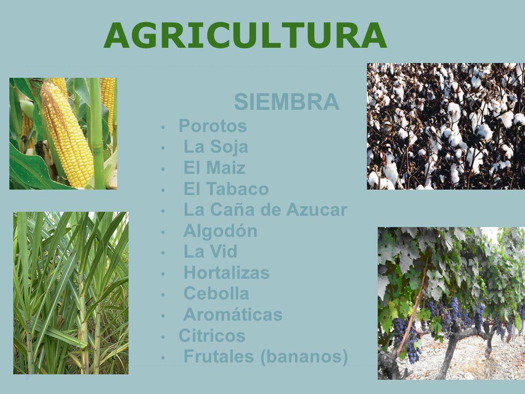 AGRICULTURA Porotos La Soja El Maiz El Tabaco La Caña de Azucar