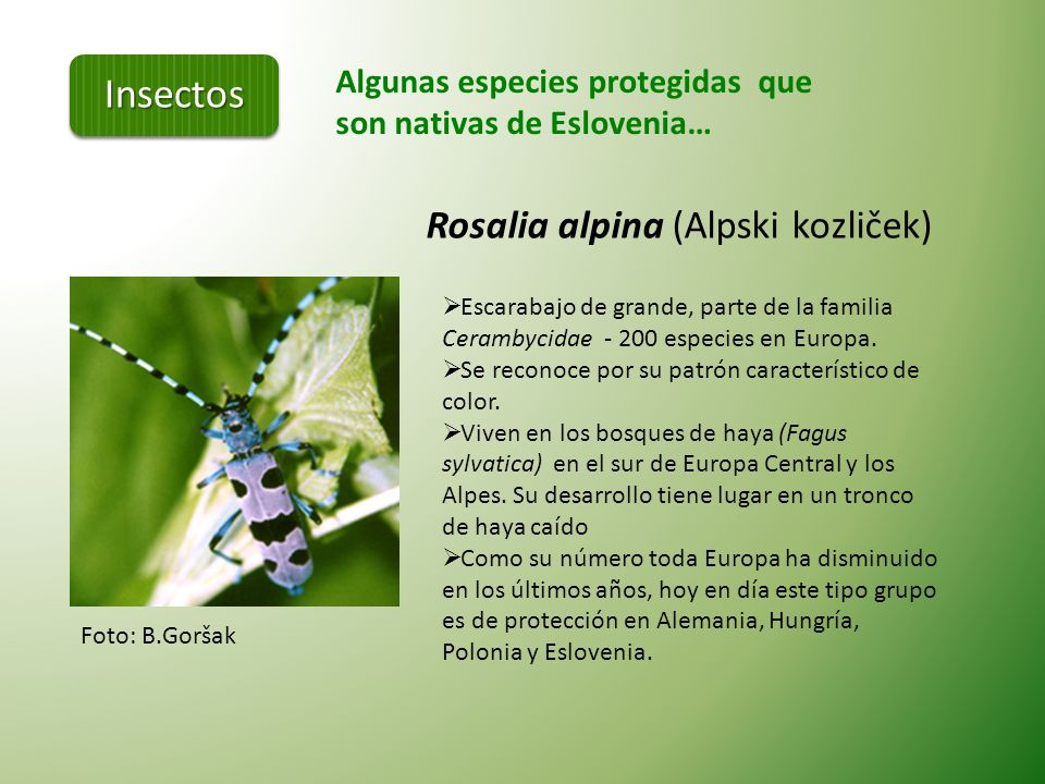 Insectos Rosalia alpina (Alpski kozliček)