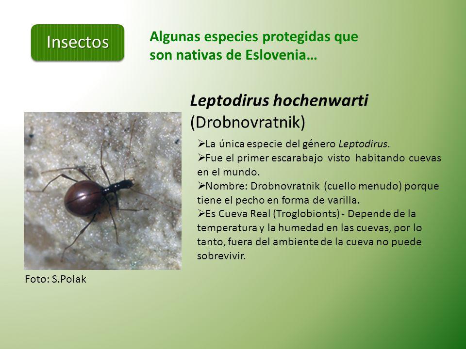 Insectos Leptodirus hochenwarti (Drobnovratnik)