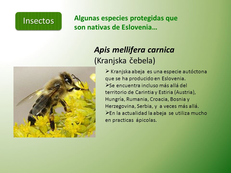 Insectos Apis mellifera carnica (Kranjska čebela)