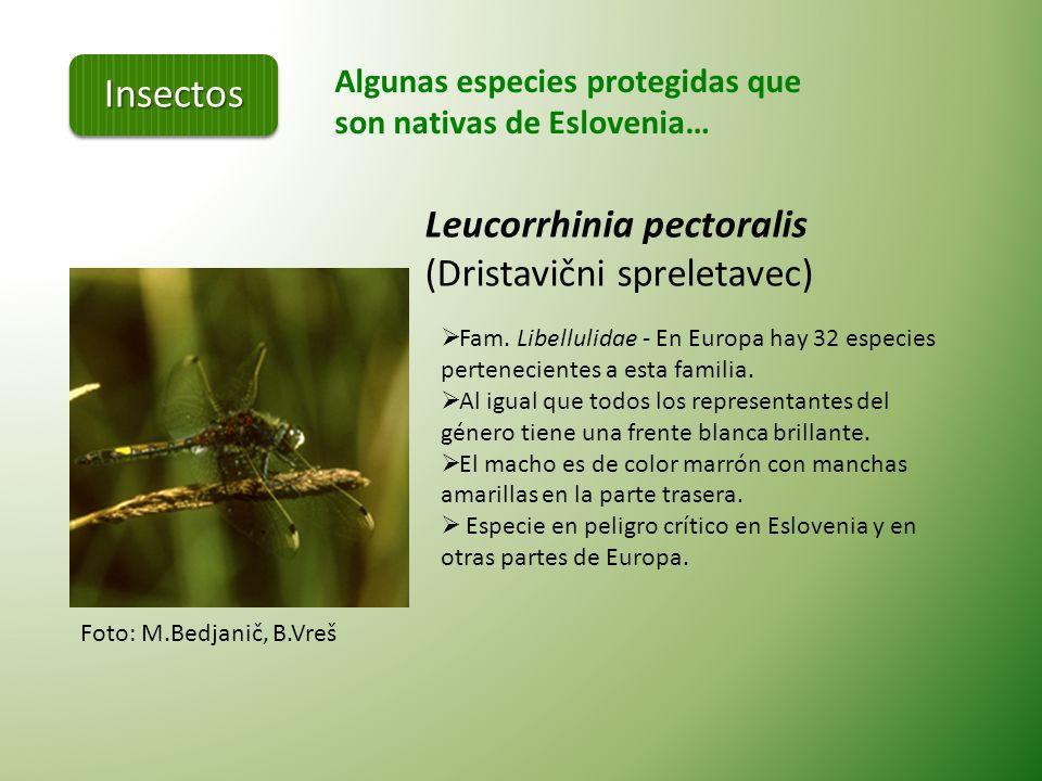 Insectos Leucorrhinia pectoralis (Dristavični spreletavec)