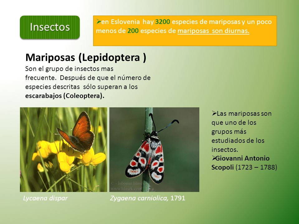 Insectos Mariposas (Lepidoptera )