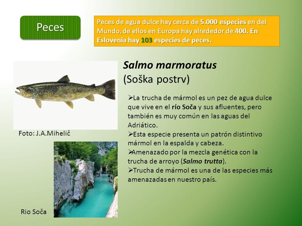 Peces Salmo marmoratus (Soška postrv)