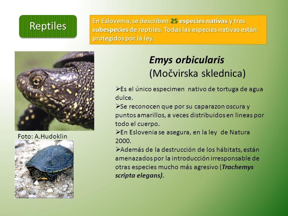 Reptiles Emys orbicularis (Močvirska sklednica)