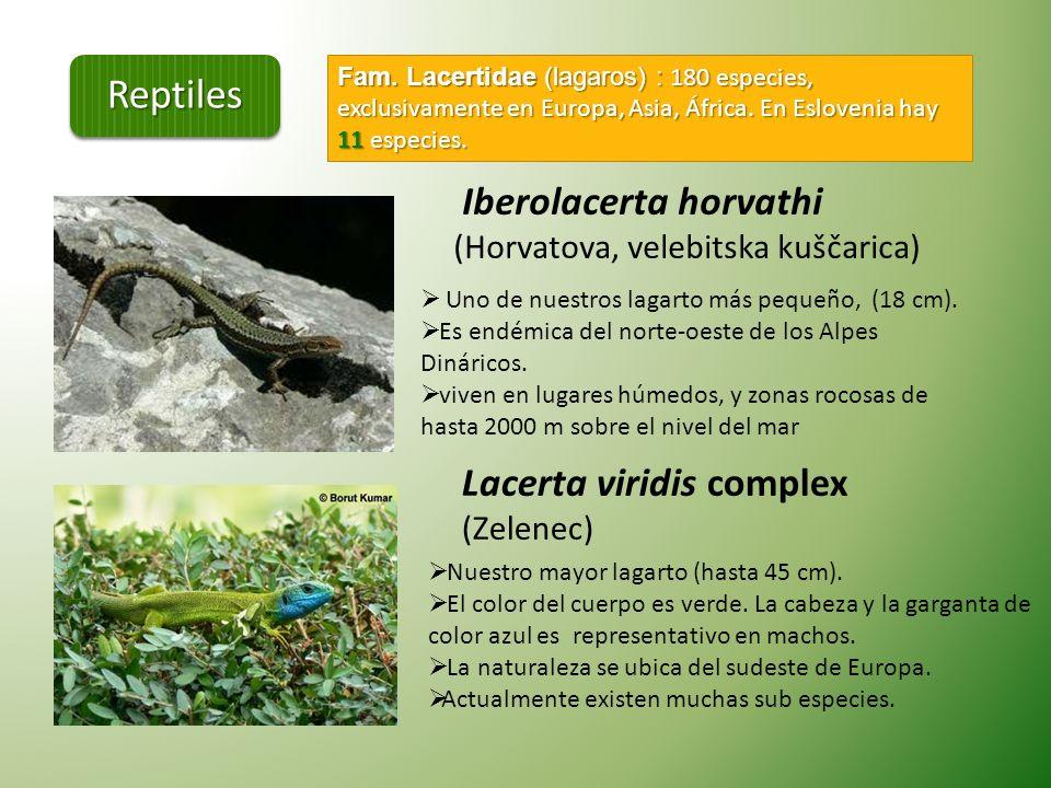 Reptiles Iberolacerta horvathi (Horvatova, velebitska kuščarica)