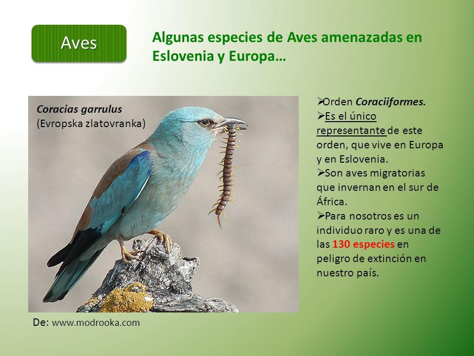 Aves Algunas especies de Aves amenazadas en Eslovenia y Europa…