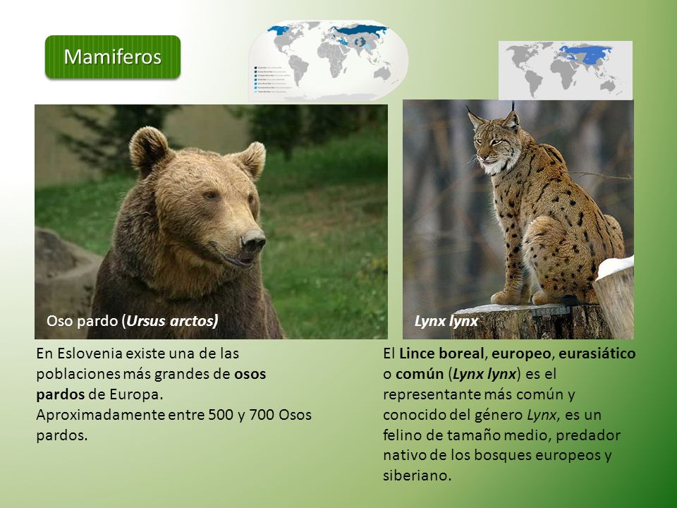 Mamiferos Oso pardo (Ursus arctos) Lynx lynx