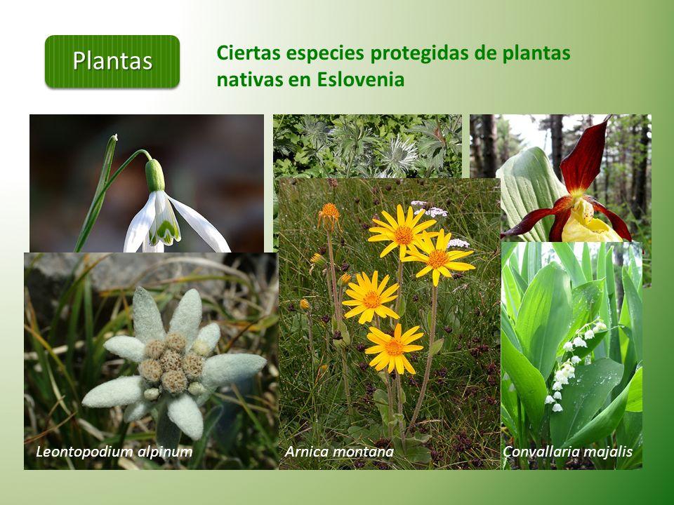 Plantas Ciertas especies protegidas de plantas nativas en Eslovenia