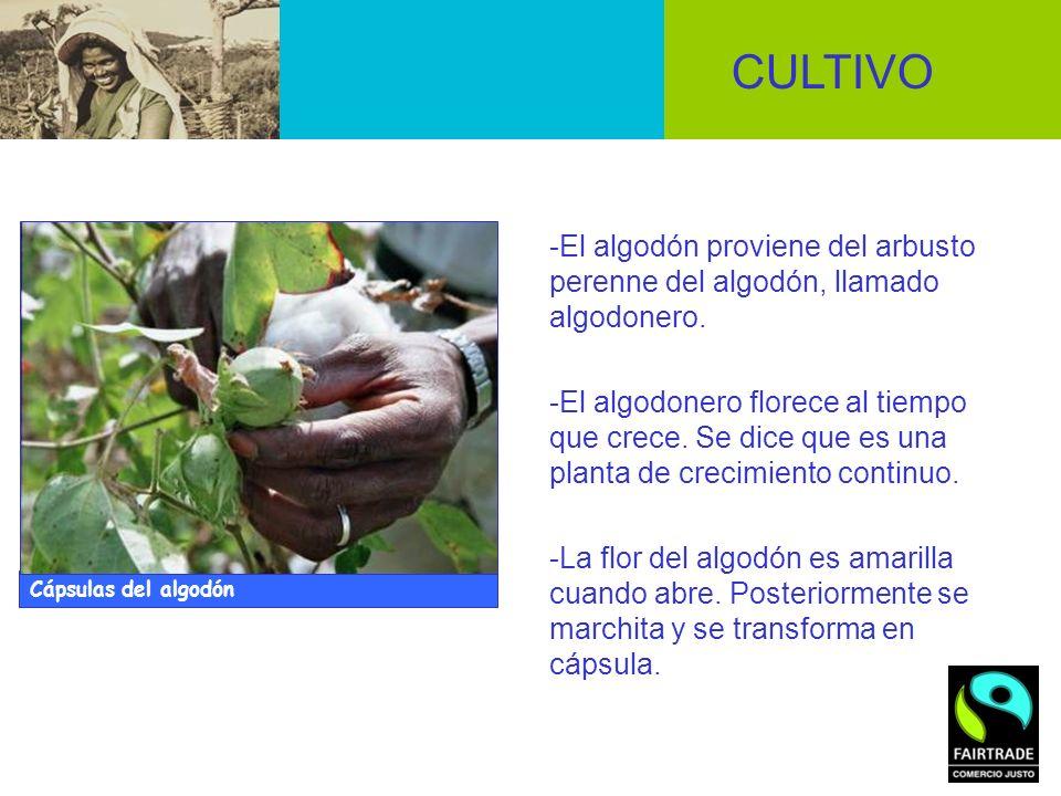 CULTIVO -El algodón proviene del arbusto perenne del algodón, llamado algodonero.