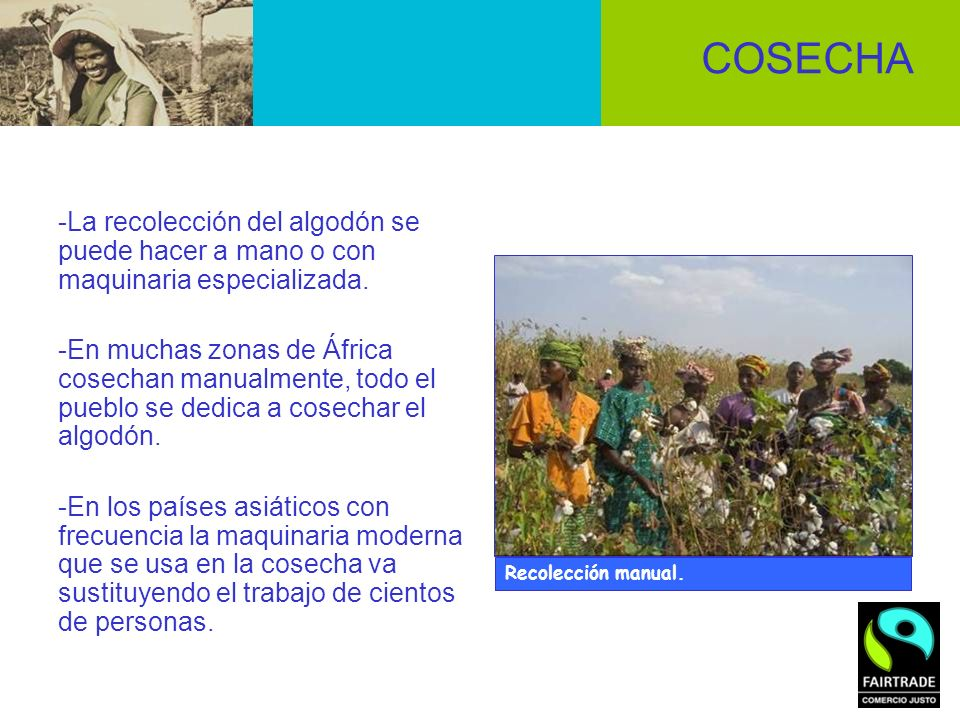 COSECHA -La recolección del algodón se puede hacer a mano o con maquinaria especializada.