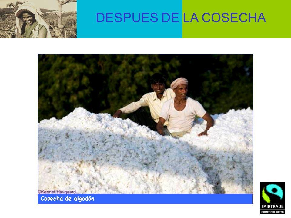 DESPUES DE LA COSECHA © Didier Gentilhomme Cosecha de algodón