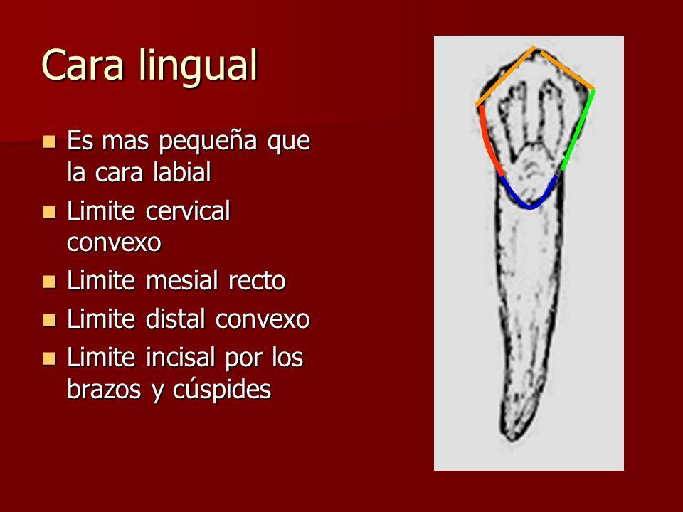Cara lingual Es mas pequeña que la cara labial Limite cervical convexo