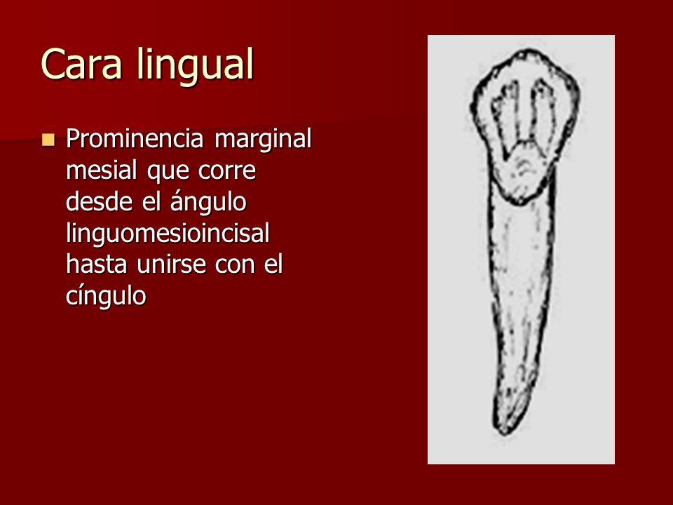 Cara lingual Prominencia marginal mesial que corre desde el ángulo linguomesioincisal hasta unirse con el cíngulo.