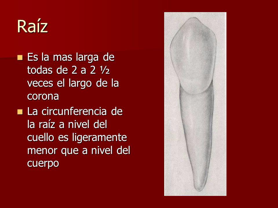 Raíz Es la mas larga de todas de 2 a 2 ½ veces el largo de la corona