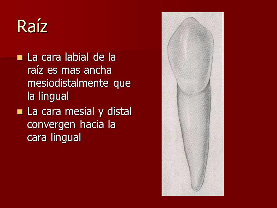 Raíz La cara labial de la raíz es mas ancha mesiodistalmente que la lingual.