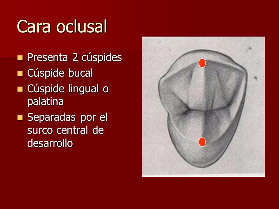 Cara oclusal Presenta 2 cúspides Cúspide bucal