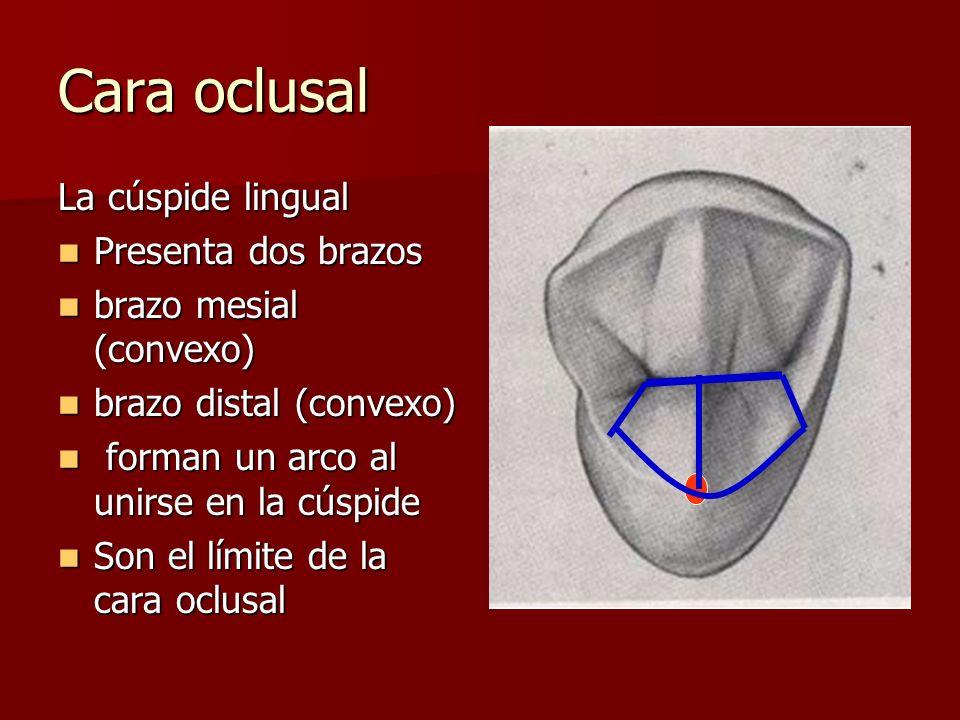 Cara oclusal La cúspide lingual Presenta dos brazos
