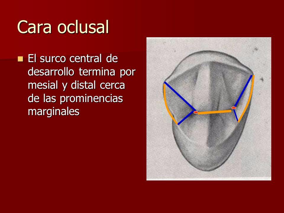 Cara oclusal El surco central de desarrollo termina por mesial y distal cerca de las prominencias marginales.