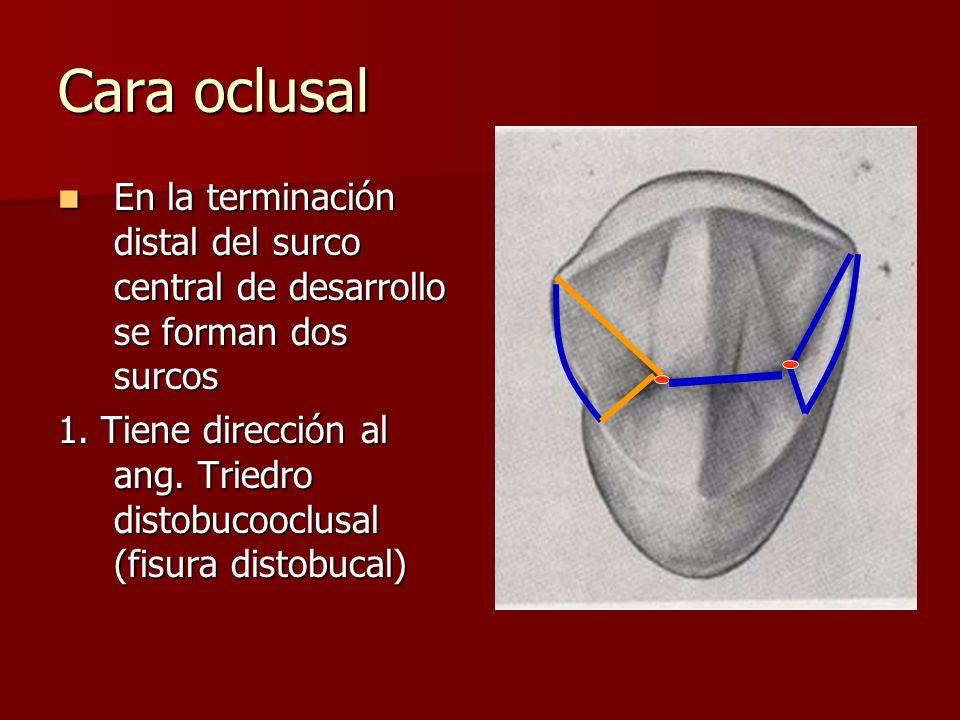 Cara oclusal En la terminación distal del surco central de desarrollo se forman dos surcos.