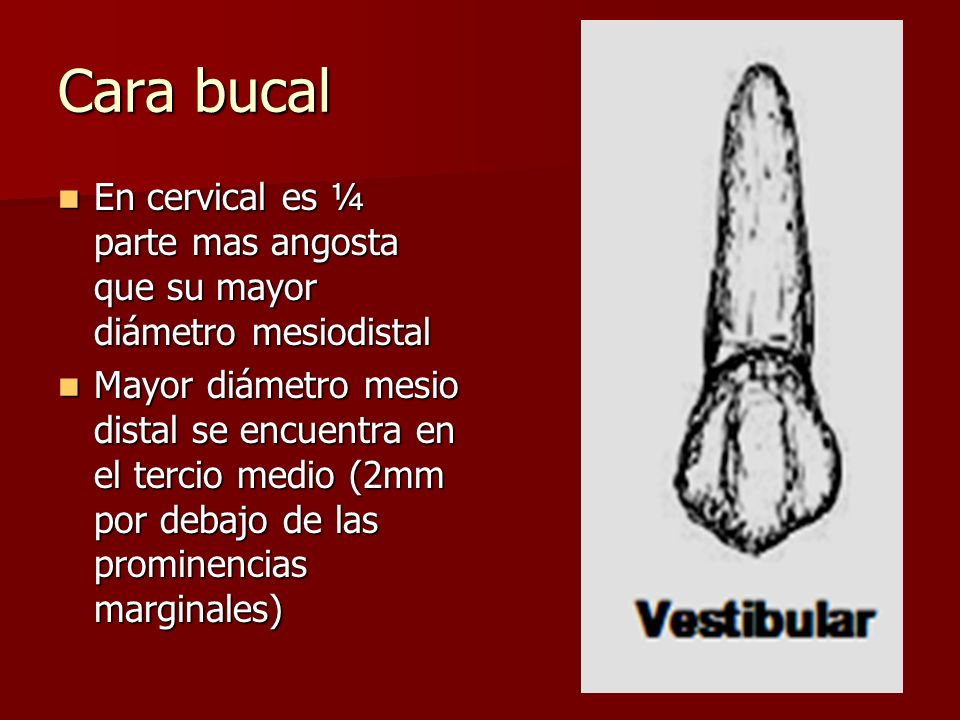 Cara bucal En cervical es ¼ parte mas angosta que su mayor diámetro mesiodistal.