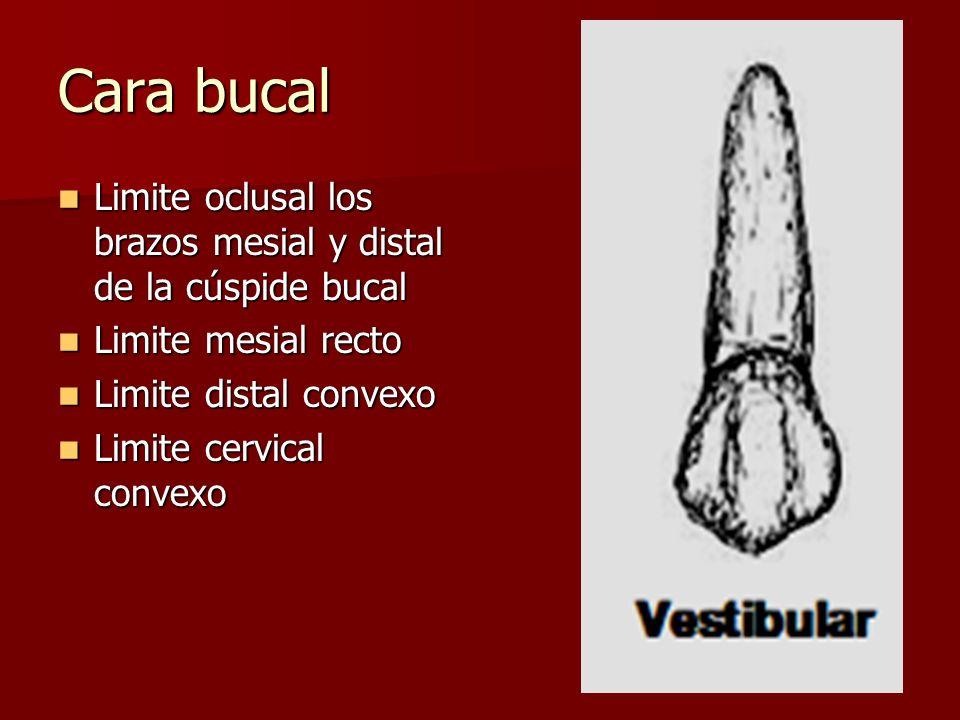 Cara bucal Limite oclusal los brazos mesial y distal de la cúspide bucal. Limite mesial recto. Limite distal convexo.