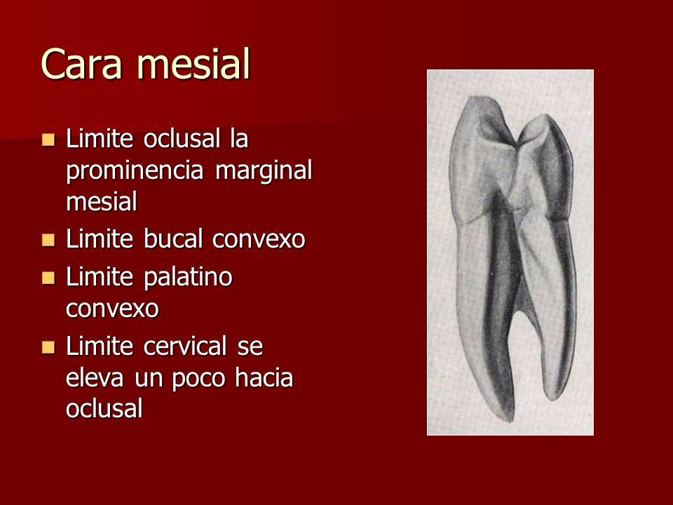Cara mesial Limite oclusal la prominencia marginal mesial