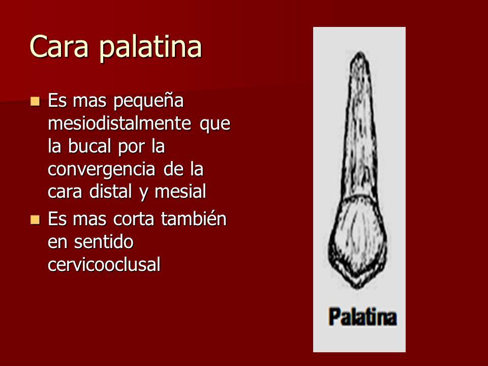 Cara palatina Es mas pequeña mesiodistalmente que la bucal por la convergencia de la cara distal y mesial.