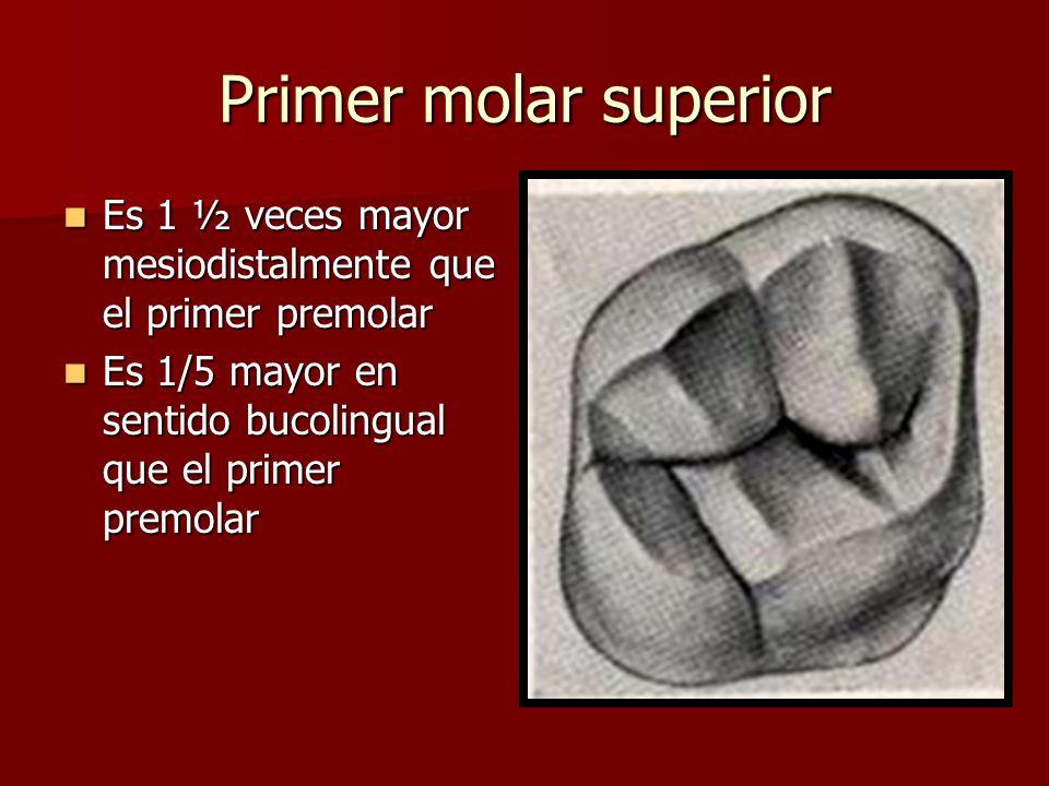 Primer molar superior Es 1 ½ veces mayor mesiodistalmente que el primer premolar.