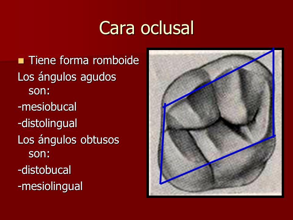 Cara oclusal Tiene forma romboide Los ángulos agudos son: -mesiobucal