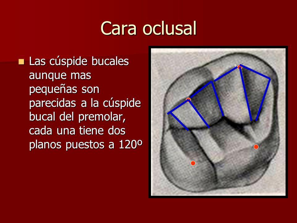 Cara oclusal Las cúspide bucales aunque mas pequeñas son parecidas a la cúspide bucal del premolar, cada una tiene dos planos puestos a 120º.