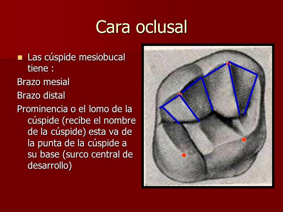 Cara oclusal Las cúspide mesiobucal tiene : Brazo mesial Brazo distal