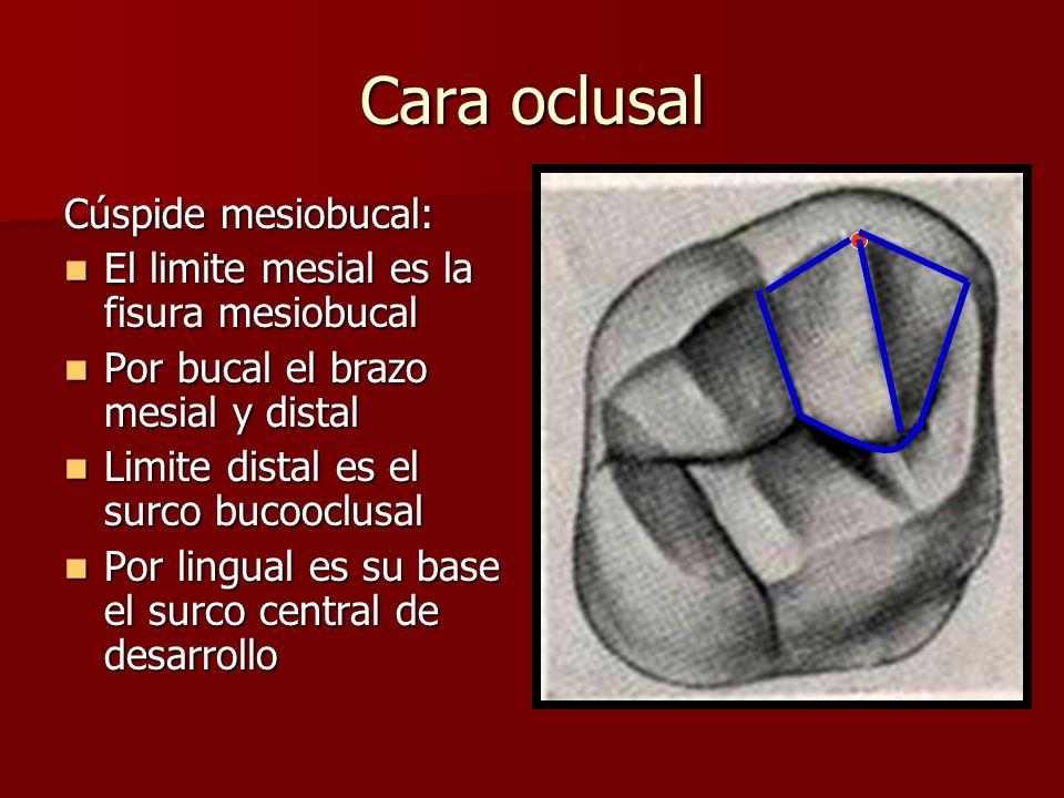 Cara oclusal Cúspide mesiobucal: