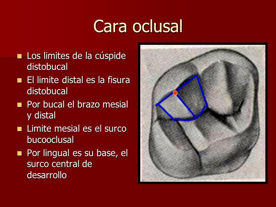 Cara oclusal Los limites de la cúspide distobucal