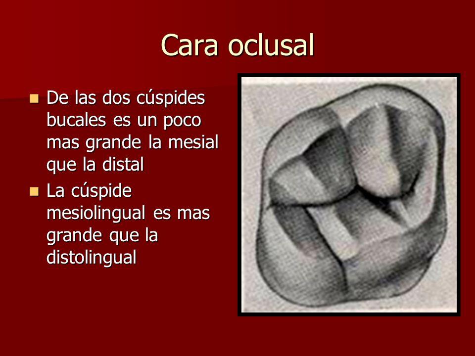 Cara oclusal De las dos cúspides bucales es un poco mas grande la mesial que la distal.