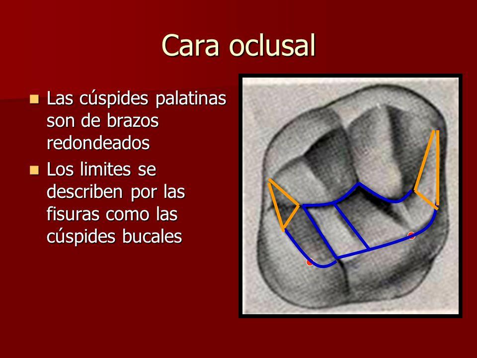 Cara oclusal Las cúspides palatinas son de brazos redondeados