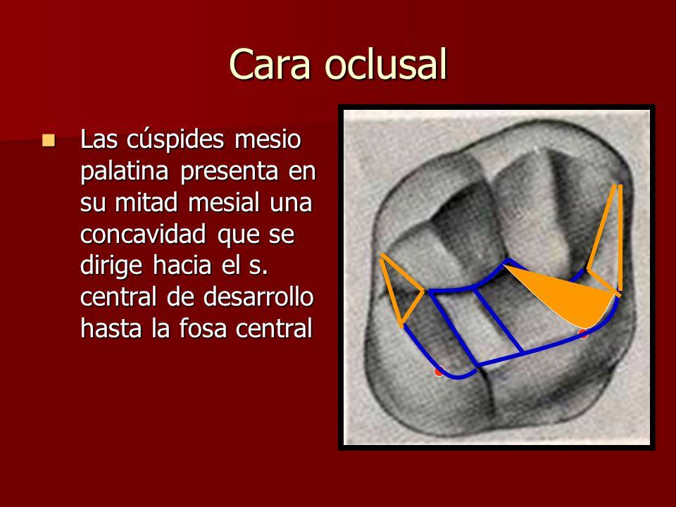 Cara oclusal